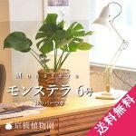 モンステラ6号【茶系バスケット鉢カバー付き】