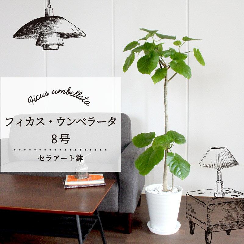 【ハートリーフ】★フィカス・ウンベラータ 8号【セラアート鉢】