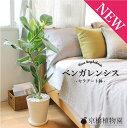 フィカス・ベンガレンシス・オードリー 7号【セラアート鉢】【インテリア...