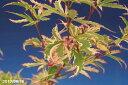 モミジ胡蝶の舞 接木苗 3.5号 【盆栽素材】【小山飾り素材】