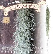 【送料無料】エアープランツチランジアウスネオイデスLサイズ【長さ約75cmLサイズ/1個】T.usneoides.ティランジアエアプランツ土がいらない観葉植物人気おしゃれインテリア