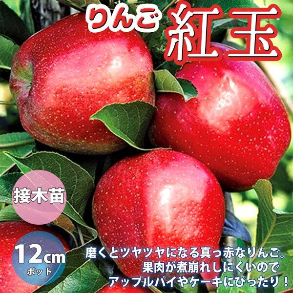 りんごの苗木紅玉 果樹苗2年生接木苗12cmポット/1個 りんご苗りんごの苗リンゴ苗リンゴの苗木林檎の苗ミニリンゴ農園庭植え