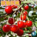 【送料無料】暖地桜桃(だんちおうとう)の苗【果樹苗9cmポッ