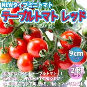 【予約商品・4月上旬発送予定】テーブルトマト赤実9cm2個