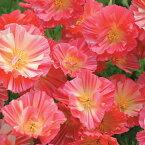 【輸入種子】Thompson & Morgan Californian Poppy Summer Sorbet カリフォルニアポピー(エスコルシア)サマー・ソルベ トンプソン&モーガン