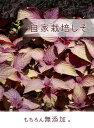 紀州みなべ町の小梅から作った酸っぱいしそ梅干し100g 自家製のしそを添えた無添加製法の梅干し ギフト プレゼント 贈り物 お中元 お歳暮 3