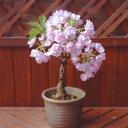 ご家庭で花見ができる一才桜 信楽焼鉢植え★受皿付き