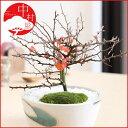 瀬戸焼鉢がステキな盆栽です長寿梅の盆栽 瀬戸焼鉢 贈り物 ギフト プレゼントに大人気の盆栽
