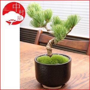 常緑でお手入れが簡単。縁起の良い松盆栽五葉松の盆栽 信楽焼ゆず肌クロ 卓上盆栽   最適【...