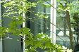 【送料無料】【現品発送】アオダモ株立 Sクラス  高さ2.0m〜2,2m   シンボルツリー沖縄、離島は別途送料が必要。