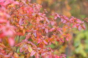 【現品発送】バイカツツジ高さ1.3m〜1.7m低木,花木,紅葉
