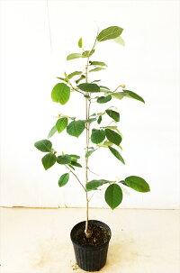 オオヤマレンゲ高さ約1.2m花木