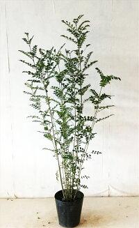 シマトネリコ株立値下げ商品高さ約1.5mシンボルツリー、ご奉仕品