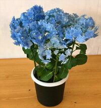アジサイコンペイトウ(ブルー)5号鉢高さ0.4mキレイなアジサイです。