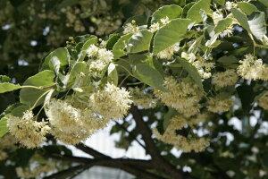 シナノキ 1本  高さ0.5m  ミツバチのための木