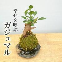 独特の樹形が人気【ガジュマルの苔玉・くらま岩器セット】