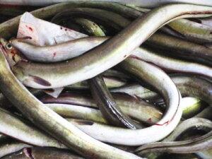 【5000円以上送料無料】【鮮魚】穴子〈アナゴ〉M1Kg前後、4~5匹前後