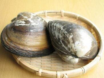 【鮮魚】北寄貝〈ホッキガイ〉【殻付】1Kg前後、2〜3個前後