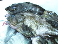 【鮮魚】黒むつ〈クロムツ〉1匹、0.5Kg〜1Kg前後