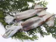 【鮮魚】するめイカ〈スルメイカ〉1Kg前後、3〜4杯前後
