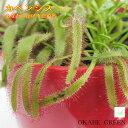 【敬老の日】モウセンゴケ カペンシス 食虫植物 3号 カラープラスチック鉢 選べる 黒皿付 ユニーク ギフト 観葉植物 鉢植 誕生日プレゼント 贈り物 インテリア ディスプレイ 素敵 送料無料