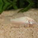 コリドラス アルビノアエネウス 1匹 (2〜3cm程度) 観賞魚 魚 アクアリウム 熱帯魚 ペット 白コリドラス 白コリ