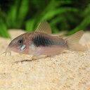 コリドラス アエネウス 1匹 観賞魚 魚 アクアリウム 熱帯魚 ペット