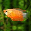 レッドハニーグラミー 1匹 観賞魚 魚 アクアリウム 熱帯魚 ペット