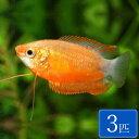 レッドハニーグラミー 3匹 観賞魚 魚 アクアリウム 熱帯魚 ペット