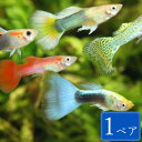 グッピー 色ミックス 1ペア セット 観賞魚 魚 アクアリウム 熱帯魚 ペット スターターフィッシュ ...