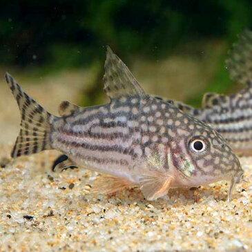 コリドラス・ステルバイ 1匹 (3cm程度) ショートノーズ ブリード 観賞魚 魚 アクアリウム 熱帯魚 ペット