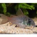 コリドラス・コンコロール 1匹 観賞魚 魚 アクアリウム 熱帯魚 ペット