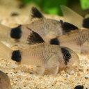 コリドラス・パンダ 1匹 コリドラス 観賞魚 熱帯魚 アクアリウム