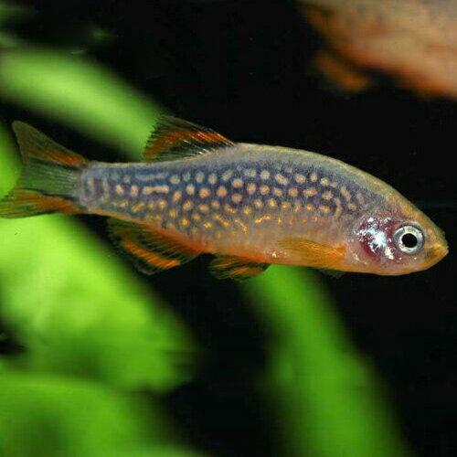 ミクロラスボラsp・ハナビ(L) 1匹  観賞魚 魚 アクアリウム 熱帯魚 ペット