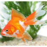 サラサ琉金(埼玉/平賀) 1匹 金魚 魚 観賞魚 アクアリウム ペット
