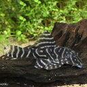 オリノコメガクラウンプレコ 1匹 観賞魚 熱帯魚 魚 プレコ アクアリウム ペット