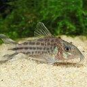 コリドラス・ロビネアエ 1匹 コリドラス 観賞魚 魚 アクアリウム 熱帯魚 ペット
