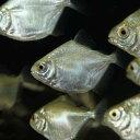 メチニス (ブリード) 1匹 観賞魚 魚 アクアリウム 熱帯魚 ペット