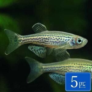 レオパードダニオ 5匹 観賞魚 魚 アクアリウム 熱帯魚 ペット
