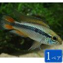 アピストグラマ・アガシジィ ダブルレッド 1ペア 観賞魚 魚 アクアリウム 熱帯魚 ペット
