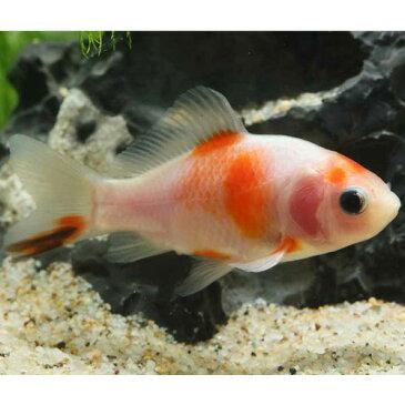 桜和金 1匹 金魚 魚 観賞魚 アクアリウム ペット