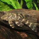 タイガープレコ 1匹 観賞魚 魚 アクアリウム 熱帯魚 ペット