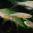 ロングフィンレオパードダニオ 1匹 観賞魚 魚 アクアリウム 熱帯魚 ペット