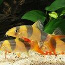 クラウンローチ (M) 1匹 アクアリウム ローチ 観賞魚 熱帯魚 魚 ペット