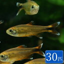 シルバーチップテトラ (ハセマニア) 30匹 観賞魚 魚 アクアリウム 熱帯魚 ペット