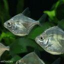 タイガーメチニス(ブリード) 1匹 観賞魚 魚 アクアリウム 熱帯魚 ペット