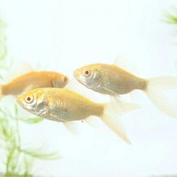 アルビノコメット (埼玉) 1匹 金魚 観賞魚 和金 魚 アクアリウム ペット