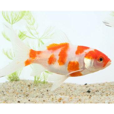 桜コメット 二歳 (大) 1匹 金魚 観賞魚 和金 透明鱗 コメット 魚 アクアリウム ペット