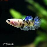 PKHM (Aグレード)・コイカラー (メス) 1匹 観賞魚 アクアリウム 熱帯魚 アナバス ベタ ペット