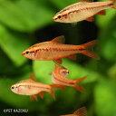 チェリーバルブ (オス) (ML) 1匹 バルブ コイの仲間 小型 観賞魚 魚 アクアリウム 熱帯魚 ...
